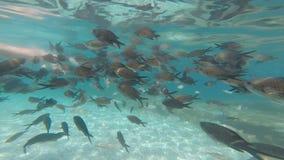 Männliche Handfütterungsfische stock footage