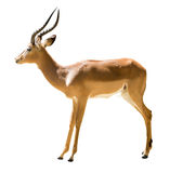 Männliche Impala Lizenzfreie Stockfotografie