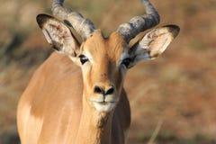 Männliche Impala stockfoto