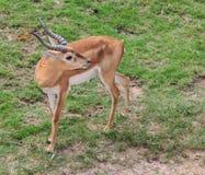 Männliche Impala-Antilope im Zoo Khao Kheow Stockbild