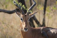 Männliche Impala mit Vogel lizenzfreie stockbilder