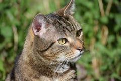 Männliche inländische Cat Hunting Birds Stockfotos