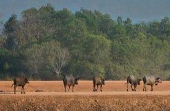 Männliche Kapbüffel, die in das Yard gehen Lizenzfreies Stockfoto