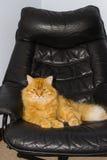 Männliche Katze des Ingwers, die auf schwarzem Lederstuhl liegt Lizenzfreie Stockfotos