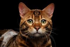 Männliche Katze Nahaufnahme-Porträt-traurige Bengals auf lokalisiertem schwarzem Hintergrund Lizenzfreies Stockbild
