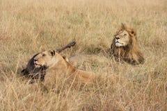 Männliche Löwe- und Löwinuhr über Abendessen Stockbild