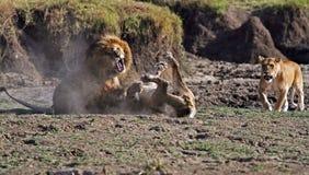 Männliche Löwen, die über einer Partnerlöwin kämpfen Lizenzfreie Stockfotos