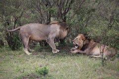 Männliche Löwen in Kenia Lizenzfreie Stockfotos