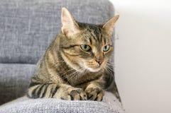 Männliche Marmorkatze mit schlechter Stimmung lizenzfreies stockbild