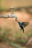 Männliche purpurrote sunbird Getränke Hahn vom im Freien Stockbild