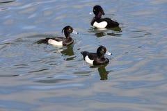Männliche Reiherente (Aythya fuligula) in Japan in einem See Lizenzfreie Stockfotos