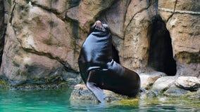 Männliche Robben Bronx-Zoos, welche die Sonne genießen lizenzfreie stockbilder
