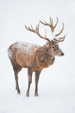 Männliche rote Rotwild (Lat. Cervis elaphus) Lizenzfreies Stockfoto