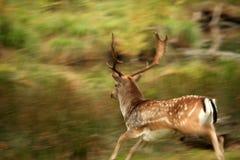 Männliche Rotwild, die mit Bewegungszittern laufen Lizenzfreies Stockbild