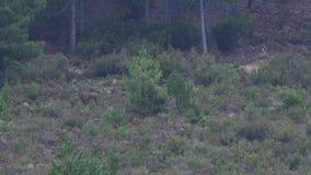 Männliche Rotwild mit dem enormen Geweih gehend in den Busch stock video