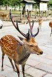 Männliche Rotwild in Todaiji-Tempel, Nara lizenzfreies stockfoto