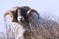 Männliche Schafe mit gekräuselten hornes Stockfotos