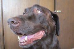 Männliche Schokolade Labrador retriever im Juli 2018 lizenzfreies stockbild