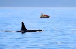 Männliche Schwertwal-Killerwalschwimmen, mit aufpassendem Boot des Wals, Victoria, Kanada stockfotos