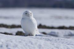 Männliche Snowy-Eule Lizenzfreie Stockbilder