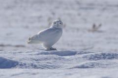 Männliche Snowy-Eule Stockbild