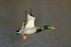 Männliche Stockenten-Ente im Flug Stockbild