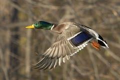 Männliche Stockenten-Ente im Flug Lizenzfreie Stockfotos