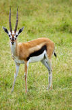 Männliche Thomsons Gazelle, die vorwärts schaut Stockbild
