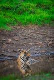 männliche Tigerjunge mit Reflexion bei Ranthambore Tiger Reserve, Indien lizenzfreies stockbild