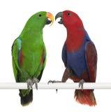Männliche und weibliche Eclectus Papageien Lizenzfreies Stockfoto