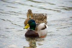 Männliche und weibliche Entenschwimmen in einem Gebirgssee Lizenzfreie Stockfotografie