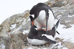 Männliche und weibliche Gentoo-Pinguine copulate Stockfoto