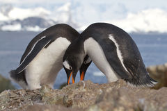 Männliche und weibliche Gentoo-Pinguine, die nahe nisten Stockfotos