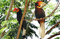 Männliche und weibliche Hornbills Lizenzfreies Stockfoto