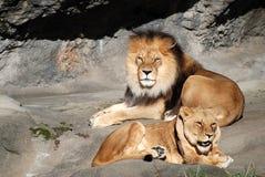 Männliche und weibliche Löwen, die im Sun sich aalen Lizenzfreie Stockfotos