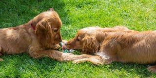 Männliche und weibliche Paare goldener Cocker spaniel-Hunde Lizenzfreie Stockfotos