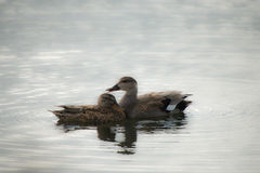 Männliche und weibliche Schnatterenten-Enten Stockfotografie