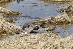 Männliche und weibliche Wasservögel Lizenzfreie Stockfotografie