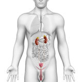Männliche urogenitale Flächenanatomie auf weißer Winkelsicht Stockfotos