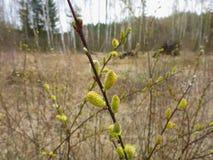 Männliche Weidenkätzchen der Salweide im Frühjahr Lizenzfreie Stockfotografie
