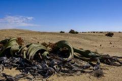 Männliche Welwitschia Mirabilisanlage Namibia lizenzfreie stockfotos