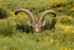 Männliche wilde in den Bergen von Gredos, Stockfotografie