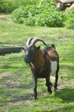 Männliche Ziege am Zoo Lizenzfreie Stockbilder