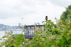 Männlichen Annas Kolibri Stockfotos