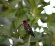 Männlichen Annas Kolibri Lizenzfreie Stockfotografie