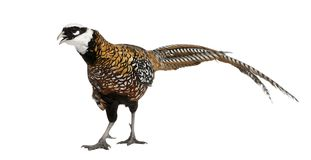 Männlichen Reeves Fasan, Syrmaticus-reevesii, kann bis 210 cm lang wachsen stockfotos