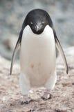 Männlicher Adelie-Pinguin in der Kolonie. Lizenzfreie Stockfotografie