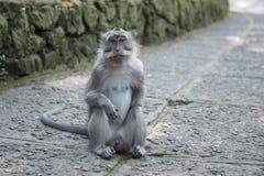 Männlicher Affe bali Lizenzfreies Stockbild