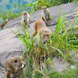 Männlicher Affe und seine Familie Lizenzfreies Stockbild