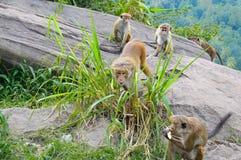 Männlicher Affe und seine Familie Stockfoto